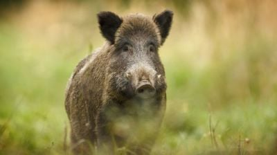 "alt=""Polish outcry over wild boar cull prompts government denial"""
